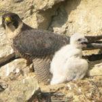 Sokol stěhovavý s mládětem